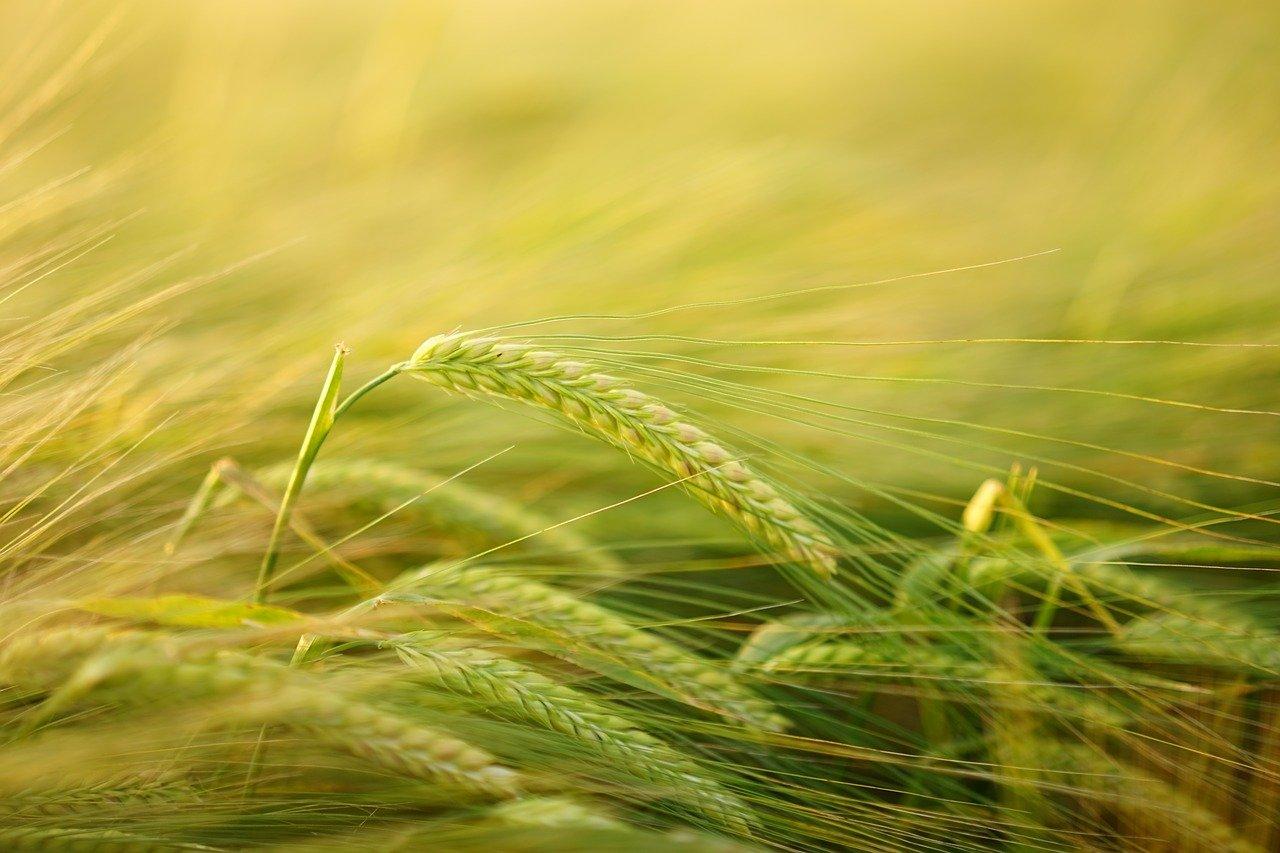 cebada, cultivo de cereales, el cultivo de la cebada