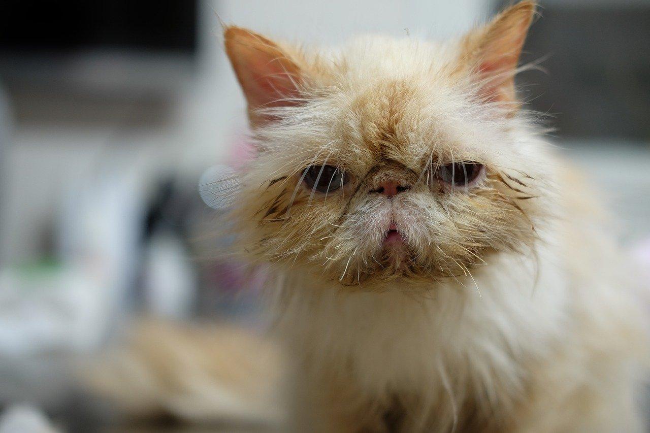 gato, veterinario, mascota