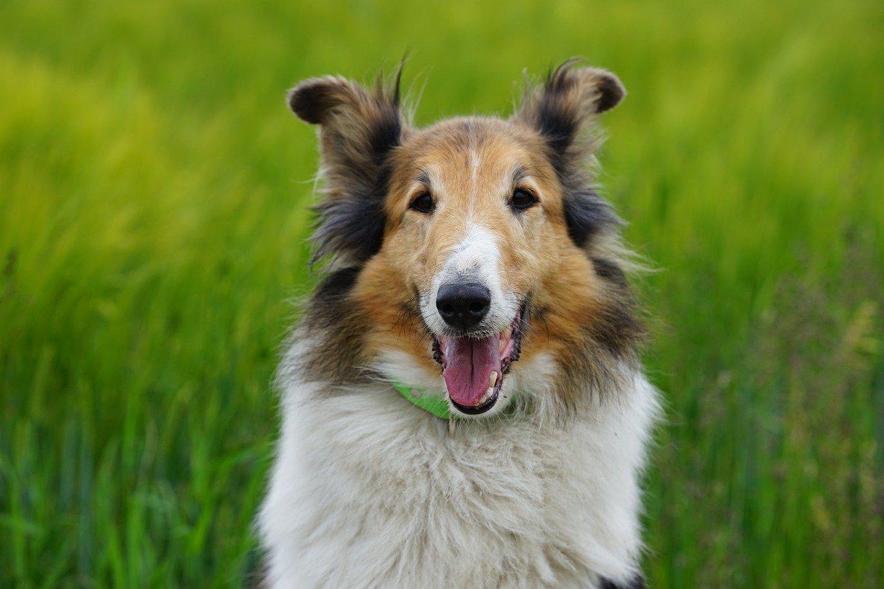 perro, perro pastor, escocés