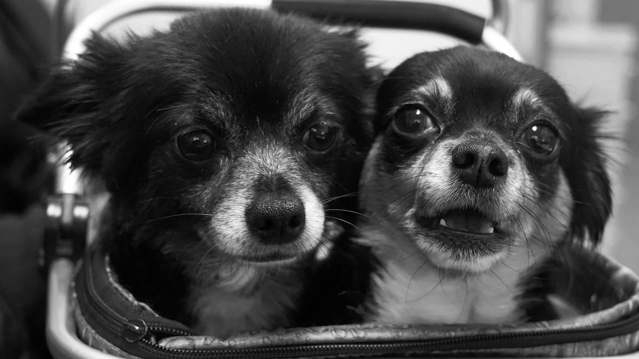 chihuahua, dúo, divertida
