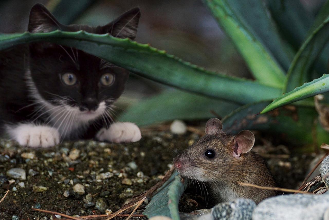 katz, ratón, animal