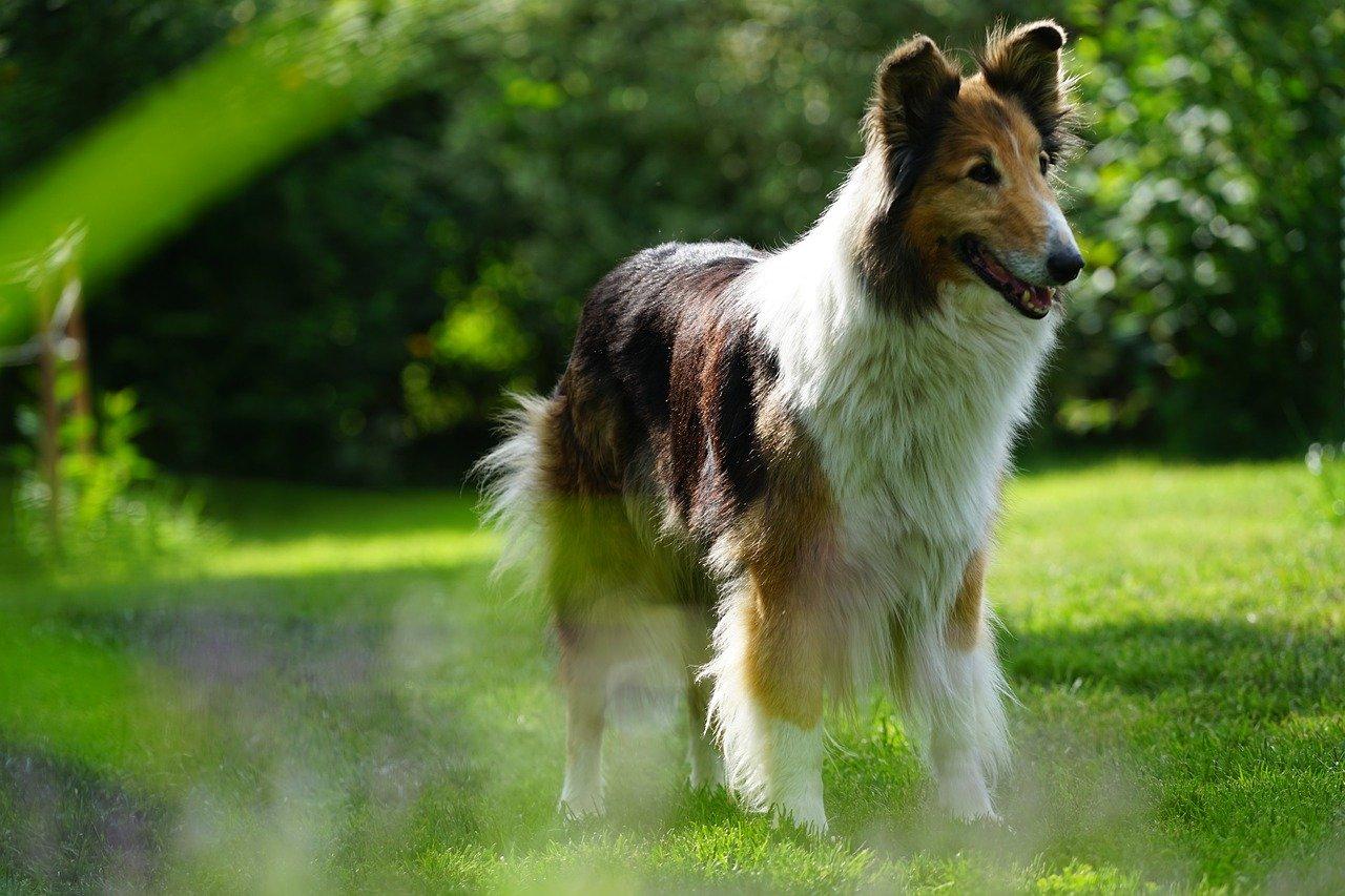 perro pastor, escocés, the brit hostel