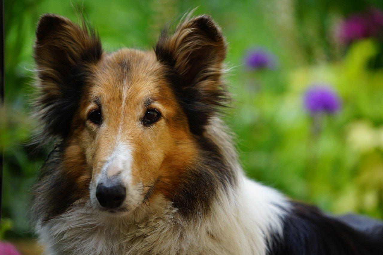 perro, jardín, escocés