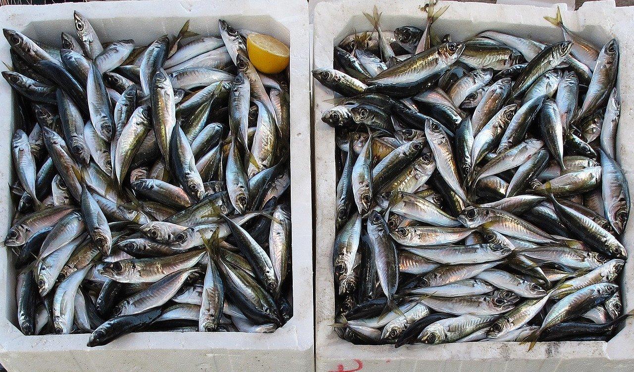 pez, recién capturado, pesca