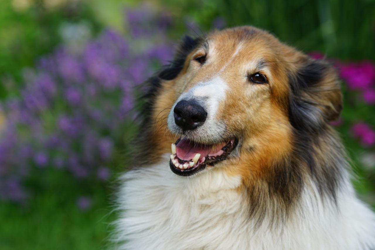 perro pastor, perro, escocés